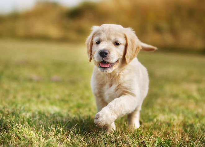 Seven week old golden retriever puppy ou