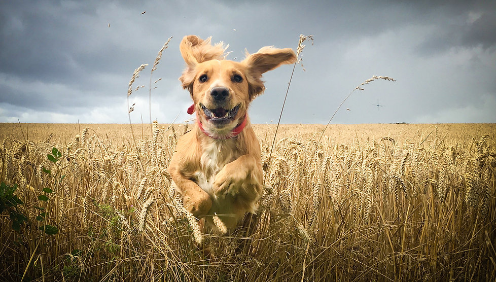 Golden Cocker spaniel dog running throu