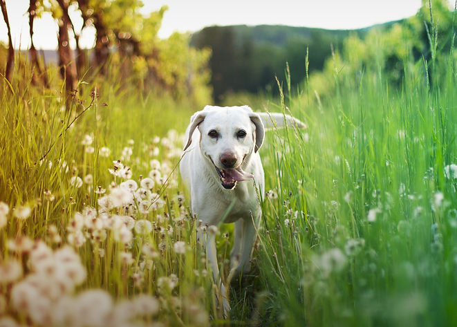 dog in tall grass with dandelions.jpg