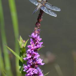 L. 4-maculata.JPG