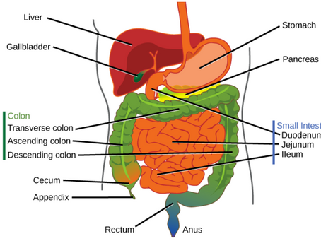"""Gut Health - Introduction to Digestion: Phase III of Digestion """"The Intestinal Phase"""""""