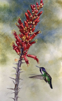 Black-chinned Hummingbird and Ocotillo