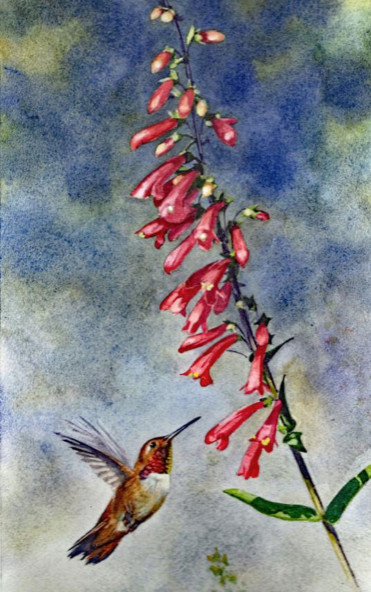 Rufous Hummingbird and Penstemon