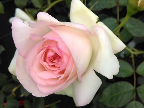 roza 2019.10.jpg