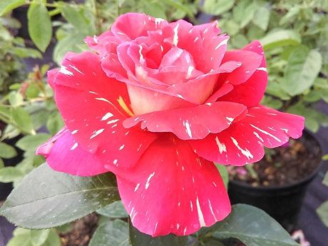 roza 2019.11.jpg