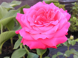 roza 2019.17.jpg