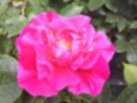 roza 2019.5.jpg