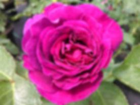 roza 2019.8.jpg