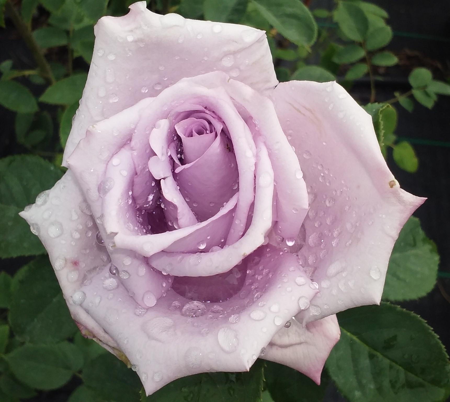róża.jpg