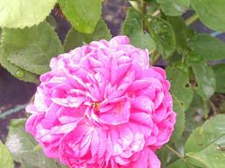 roza2.jpg