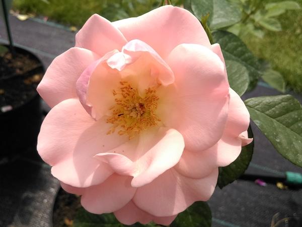 roza 2019.9.jpg