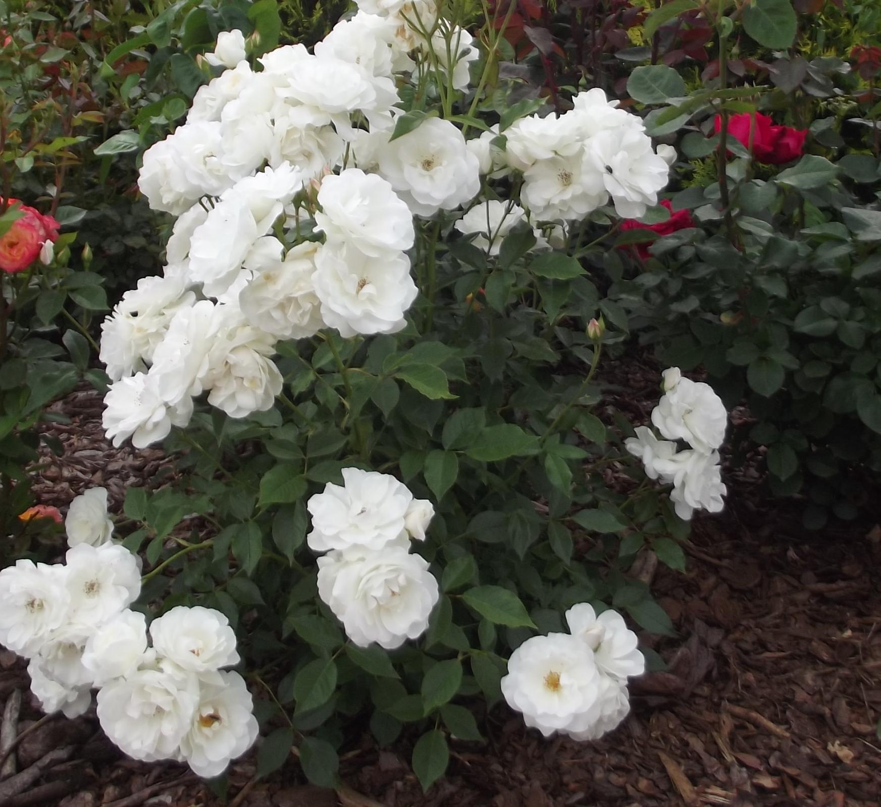 róża rabatowa.jpg