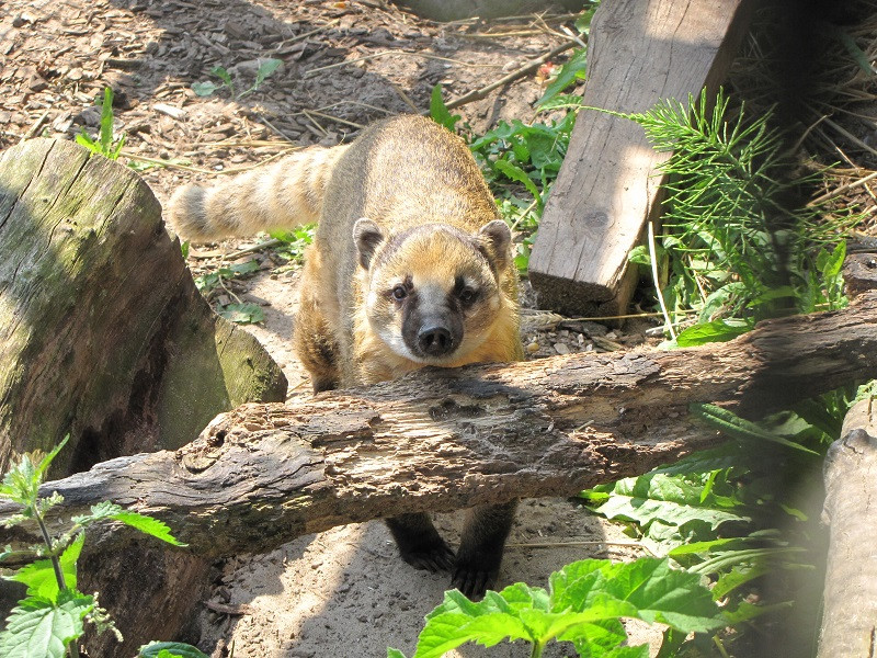 Coati rescatado por Fundacion AAP Animal Advocacy and Protection