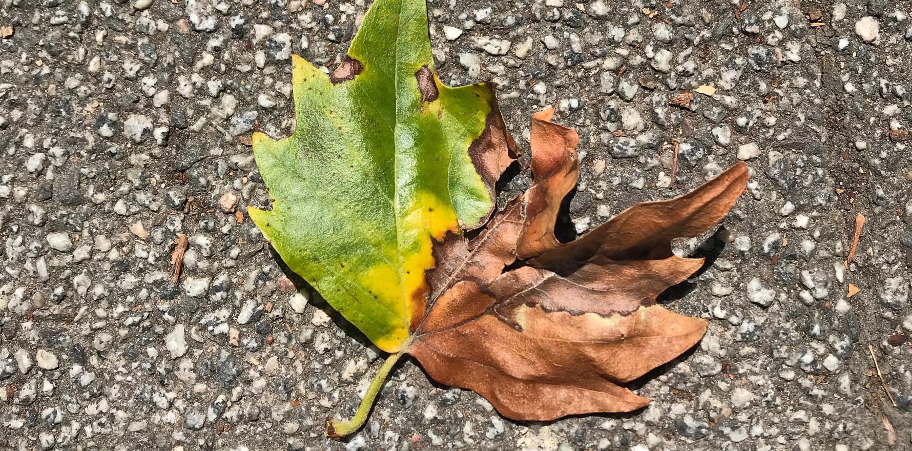 Warum werden Blätter braun?