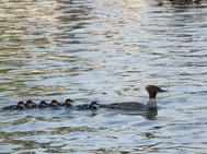 Merganser ducklings and mother - DeaneHD Wallpaper