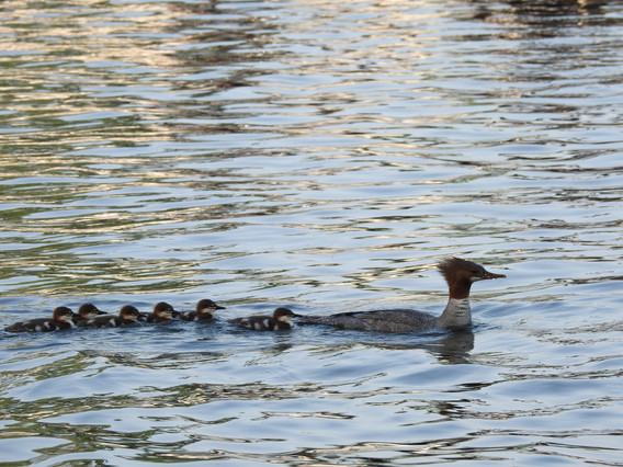 Merganser ducklings and mother - DeaneHD Wallpaper