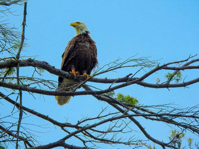 Bald Eagle - DeaneHD Wallpaper