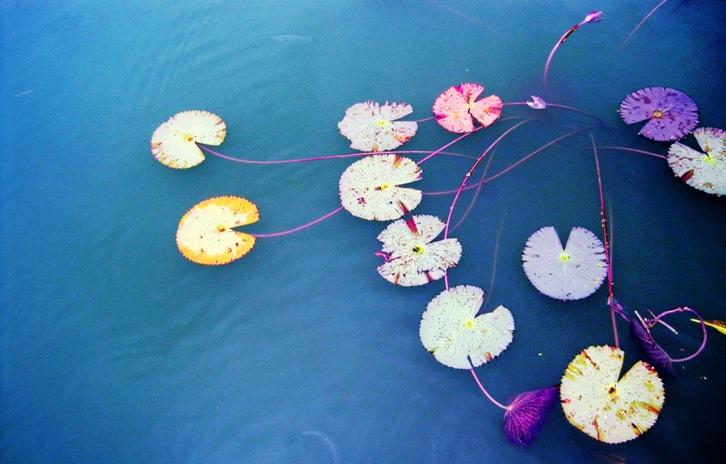Lily Pond at Hue, Vietnam