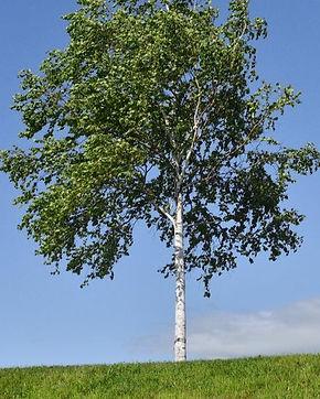 silver-birch-tree-full_301687796_grande_