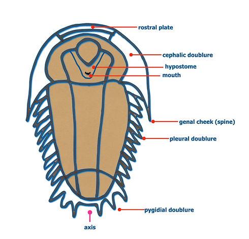 Trilobite anatomy_edited.jpg