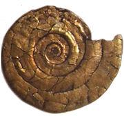 Psiloceras planorbis (BGS N. Ireland)