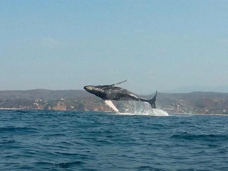 Temporada de ballenas en Oaxaca