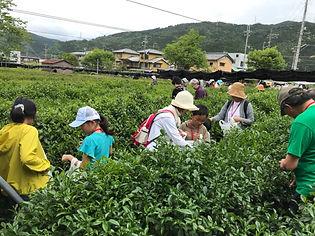茶摘み2.JPG