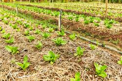 Kong Garden - Organic Vegetables