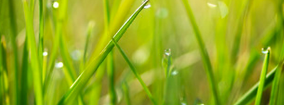Green grass with dew beading on it