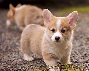 Corgi puppy.jpg