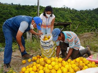 En Cune se cosecha naranja de calidad