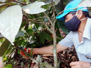 Alcaldía capacitó a agricultores sobre poda de cacao
