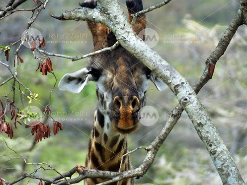 Giraffe Through Branches
