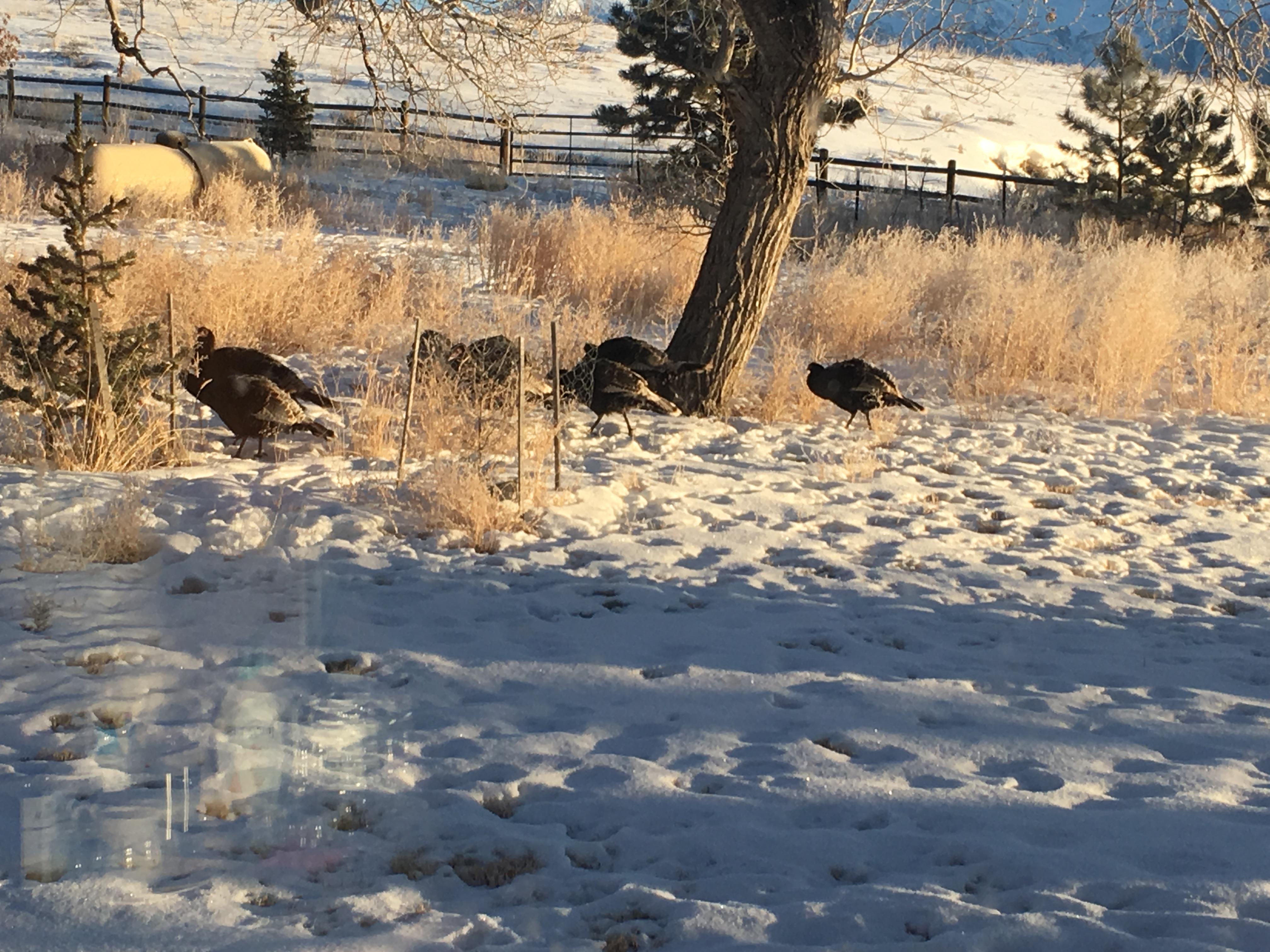 Turkeys in yard at cabin