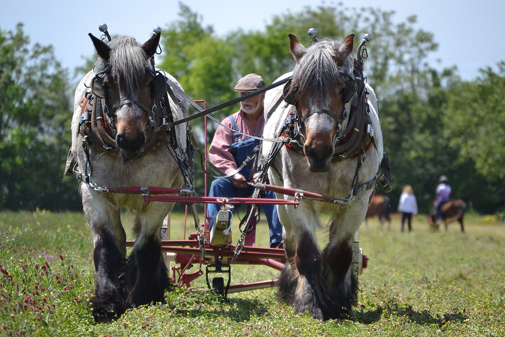 A brabant horse team mowing clover pasture