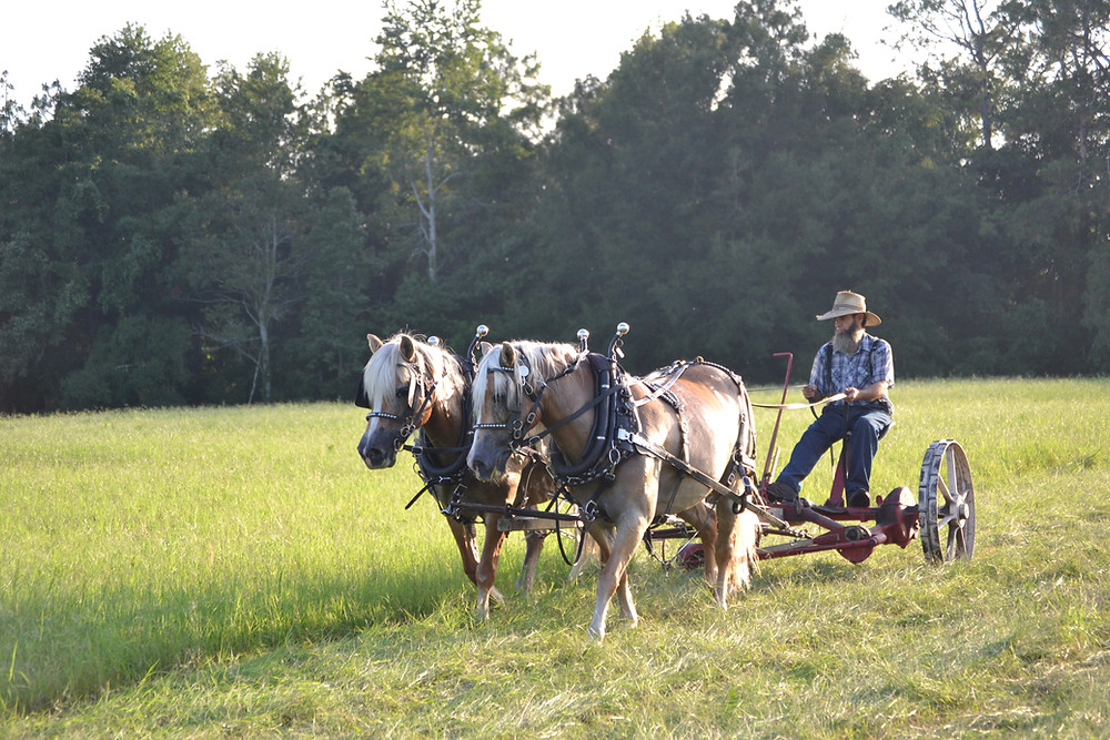 Cutting hay with horse drawn sickle mower