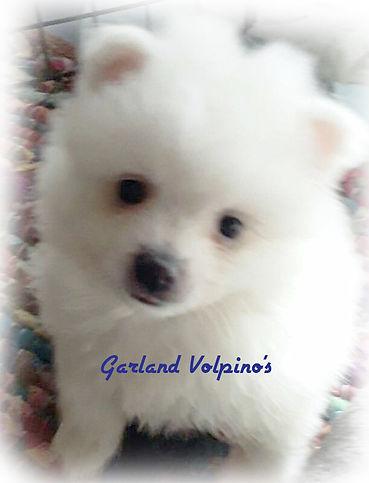 garland-volpino1.jpg