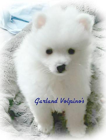 garland-volpino2.jpg