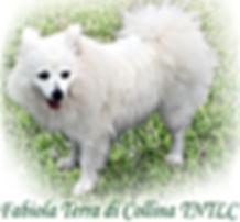 Fabiola is a Rare Breed called Volpino Italiano from Italy
