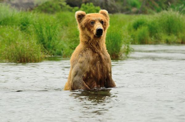 0572  ak grizzly 2012.jpg