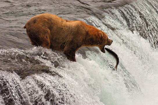 brooks bears 0031.jpg