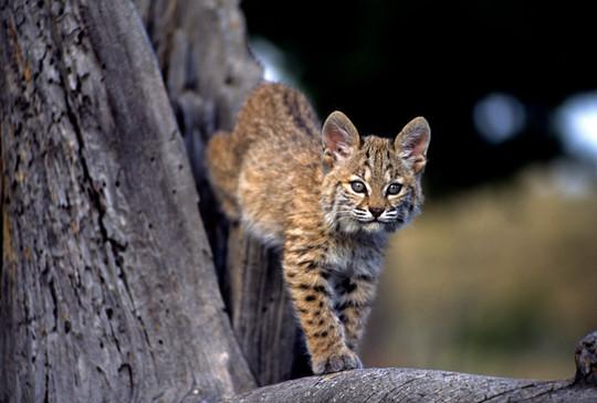 Young Bobcat_06.JPG