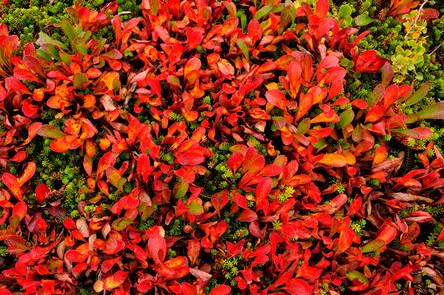 Tundra fall colorr AK 0922.jpg