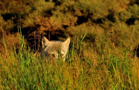 Wolf in Alaska BC BECK image31.JPG