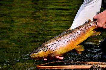 0827 spring creek brown.jpg