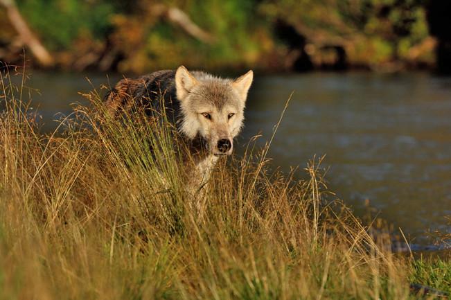 Wolf Alaska  BC BECK Image06.JPG