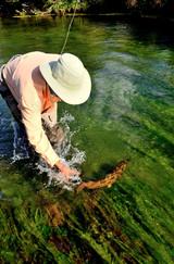 0619 spring creek brown trout.jpg