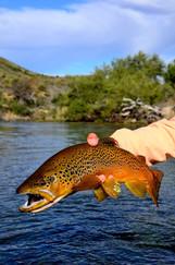 0466 brown trout 2313.jpg