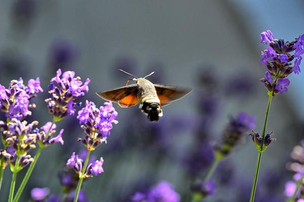 humingbird moth 16.jpg