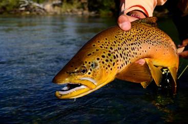 0615 spring creek brown trout.jpg